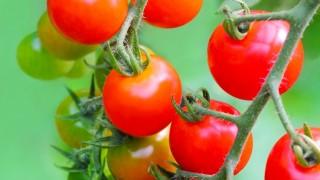 50代からの家庭菜園~ミニトマトを育てよう